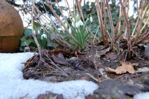 Erste Schneeglöckchen