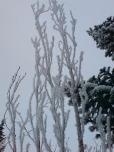 Frostige Säulenkirsche